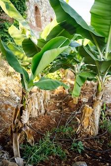 Mulher perto de uma grande folha verde de uma bananeira na natureza no parque. plantas tropicais e uma garota atraente caminhando