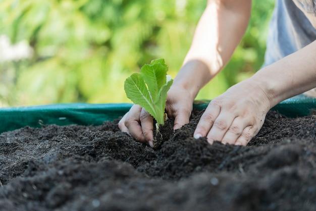 Mulher plantando alface no jardim de casa