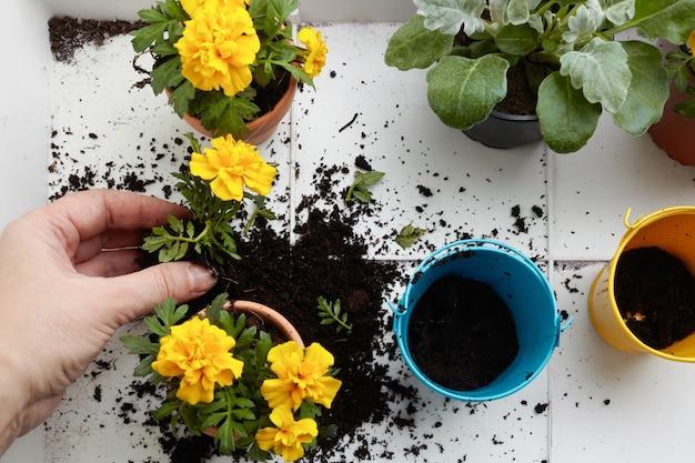 Mulher plantando flores em vasos, feche as mãos. jardinagem doméstica verde. decoração de casa.