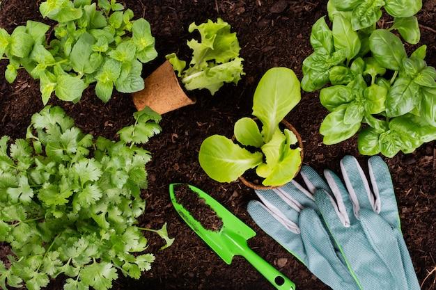 Mulher plantando mudas jovens de salada de alface na horta