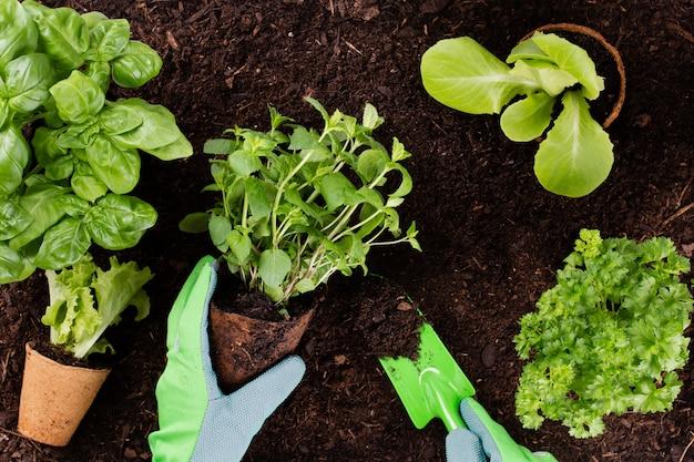 Mulher plantando mudas jovens de salada de alface na horta.