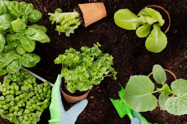 Mulher plantando mudas jovens de salada de alface