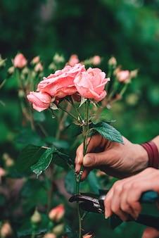 Mulher podando rosas no jardim quintal depois da chuva