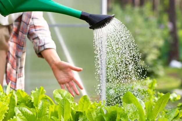 Mulher que molha uma salada nova da lata molhando no viveiro, foco seletivo. horta orgânica