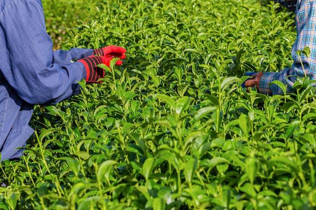 Mulher que trabalha na plantação de chá verde de manhã, chiang rai, tailândia