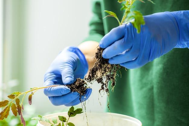 Mulher segura mudas de tomate cultivadas em vasos antes de plantar no jardim