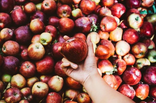 Mulher segura, um, maçã vermelha, de, a, pomar