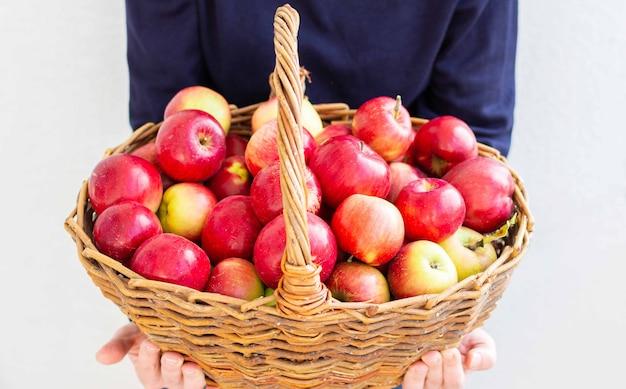 Mulher segura uma grande cesta de vime com maçãs vermelhas e amarelas em um fundo de uma parede branca, colheita fresca do jardim