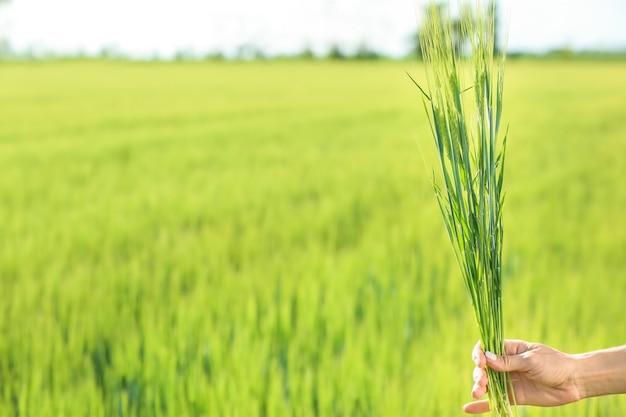 Mulher segurando espigas de trigo em campo verde
