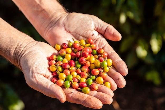 Mulher segurando grãos de café frescos