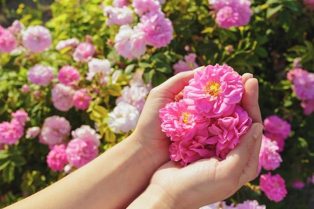 Mulher segurando rosas closeup. temporada de verão.