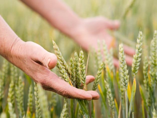 Mulher segurando trigo nas mãos dela