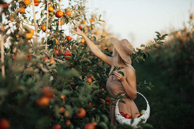 Mulher segurando uma cesta branca e colhendo maçãs de uma macieira no jardim em um lindo dia ensolarado de verão.