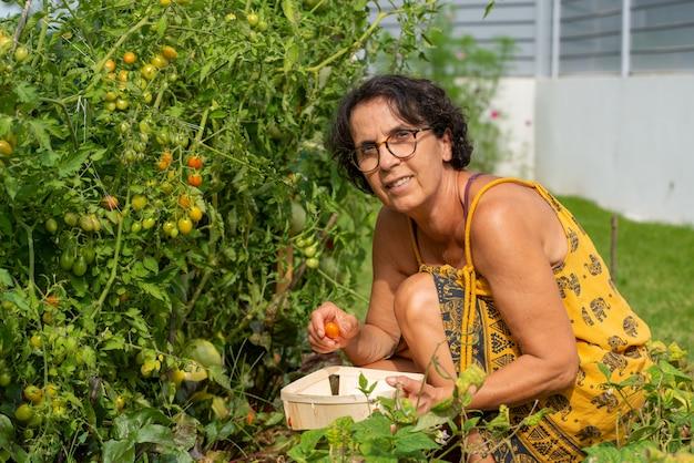 Mulher sênior, apanhar, tomates, de, horta
