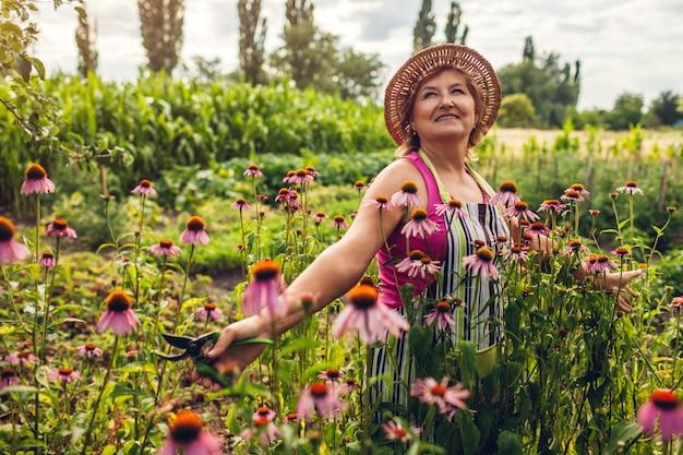 Mulher sênior, coleta de flores no jardim, mulher de meia idade andando por echinacea ou coneflower,