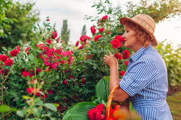 Mulher sênior que recolhe flores no jardim. mulher de meia idade que cheira e que corta rosas fora.