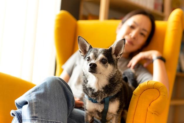Mulher, sentando, ligado, um, amarela, sofá, com, pretas, chihuahua, cão, olhar