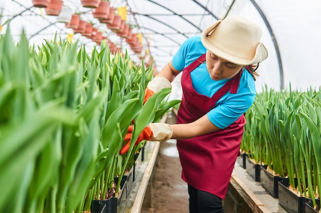 Mulher trabalhadora em uma estufa examina tulipas hidropônicas em caixas