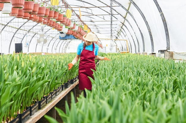 Mulher trabalhadora examina tulipas hidropônicas em uma estufa