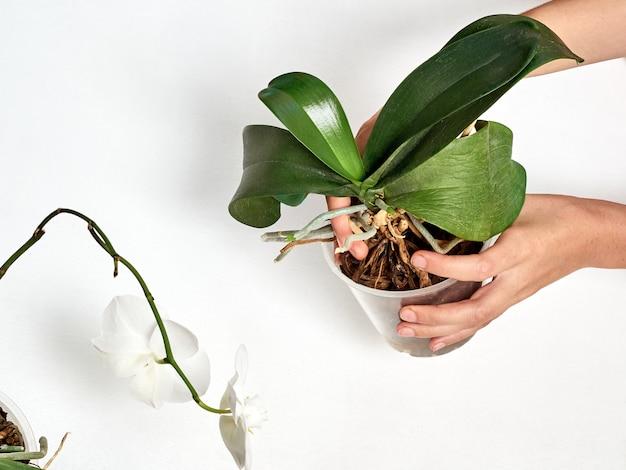 Mulher transplantando orquídea em casa