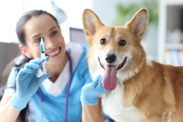 Mulher veterinária aplicando injeção em cão corgi de raça pura em clínica de assistência médica