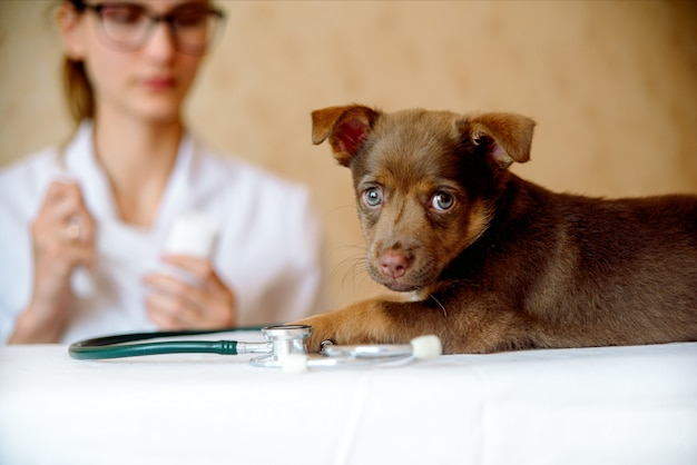 Mulher, veterinário, examinando, saúde, de, cão spitz, em, clínica