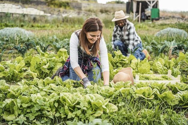Mulheres agricultoras trabalhando enquanto colhem plantas de alface