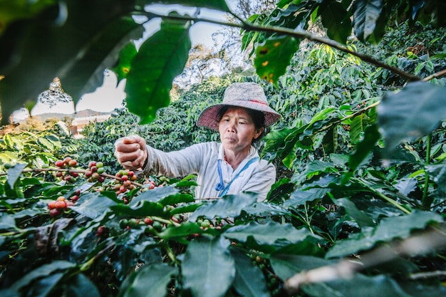 Mulheres de tailândia que escolhem a semente vermelha do café na plantação de café em doi chang, chiang rai, tailândia.