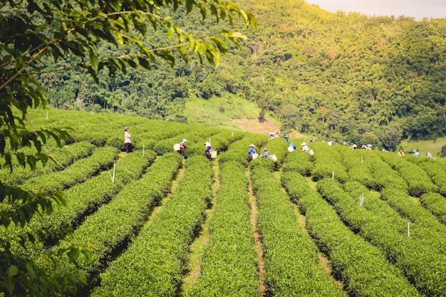 Mulheres, em, local, colina, tribo, segurando, jovem, chá verde, folhas, ligado, colina, à noite
