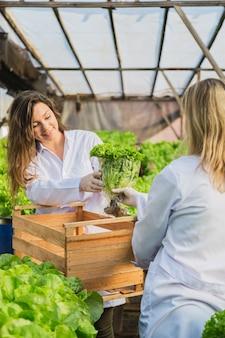 Mulheres profissionais carregando alface para uma caixa em um jardim hidropônico