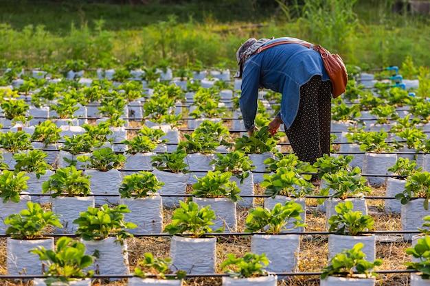 Mulheres que trabalham em campos de morangos lindos à noite.