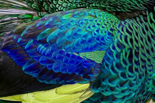 Multi coloridas e coloridas penas de pavão closeup