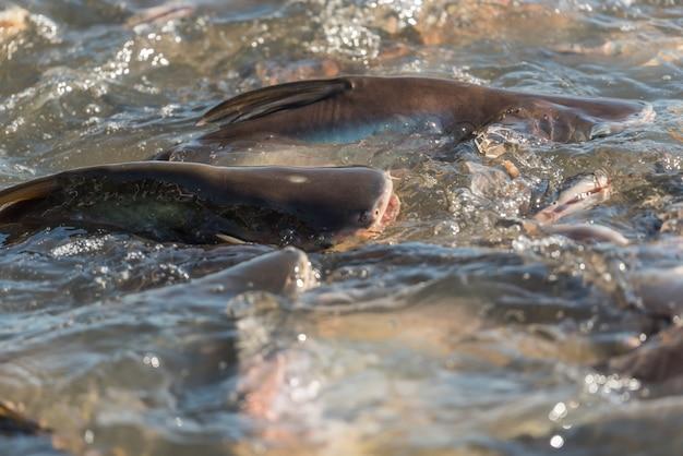 Multidão de muitos peixes de água doce com fome, como peixe-gato, peixe cabeça de cobra, peixe-cobra