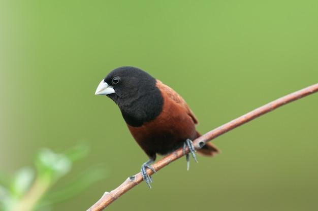 Munia de castanha; lonchura atricapilla, belo pássaro na tailândia,