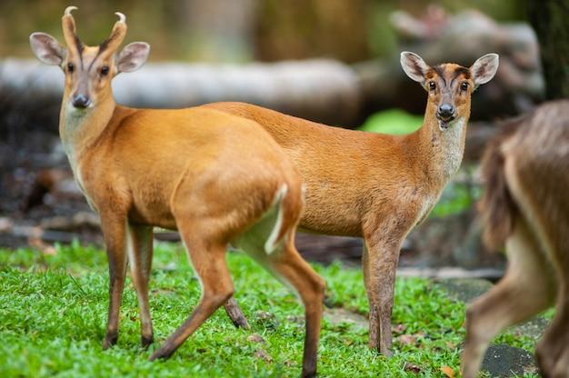 Muntjacs machos, também conhecido como cervos latidos e veados mastreani