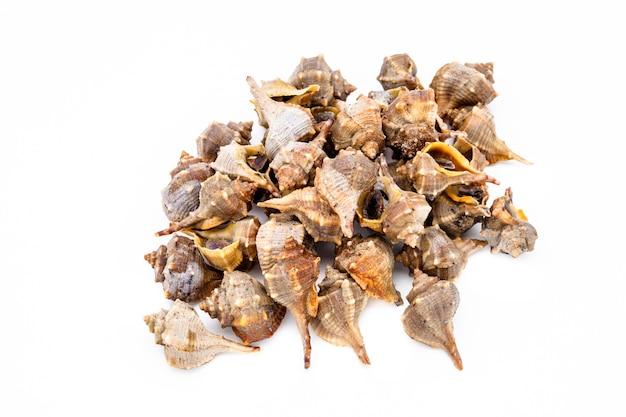 Murex roxo ou espinhoso da tintura, bolinus brandaris