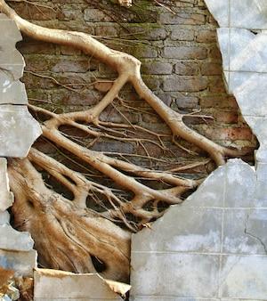 Muro de concreto de ruína com grande raiz de árvore