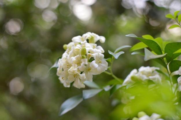 Murraya paniculata é um lindo buquê branco