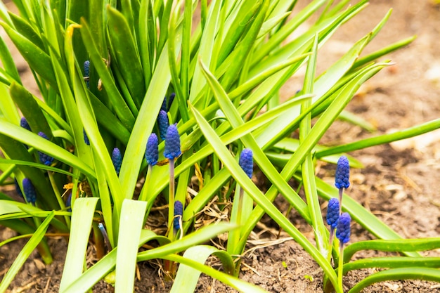 Muscari azul tipo ocean magic armeniacum viola. muitas flores azuis muscari em verde.