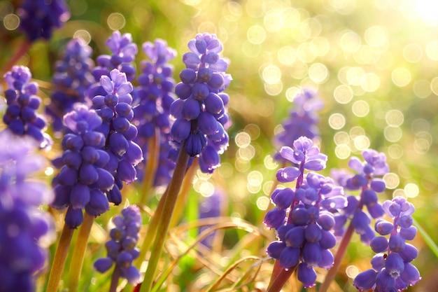 Muscari flores no sol quente