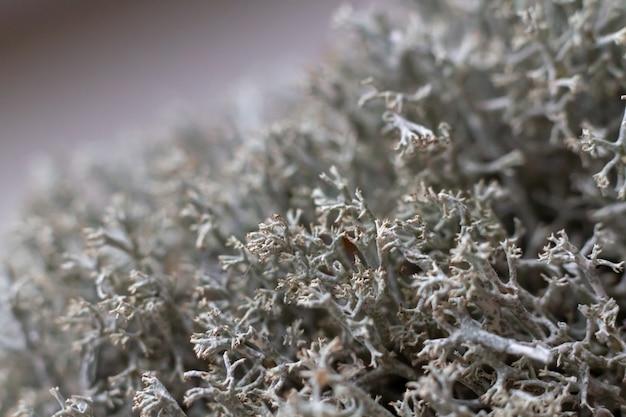 Musgo de floresta cinza seco