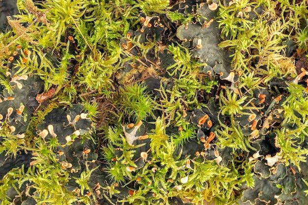 Musgo e líquen no chão na floresta, plano de fundo, textura