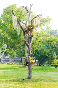 Musgo espanhol pendurar na árvore seca