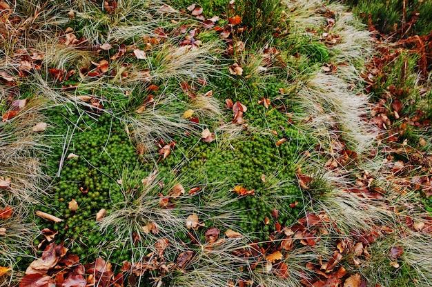 Musgo islandês com folhas caídas na grama