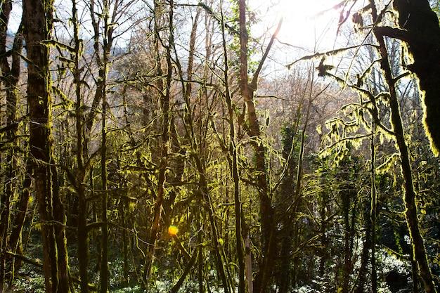 Musgo nas árvores da floresta, parque nacional, bosque de buxo de teixo inverno em sochi, rússia. 5 de janeiro de 2021