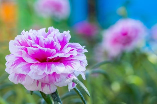 Musgo rosa ou beldrois florescendo no jardim