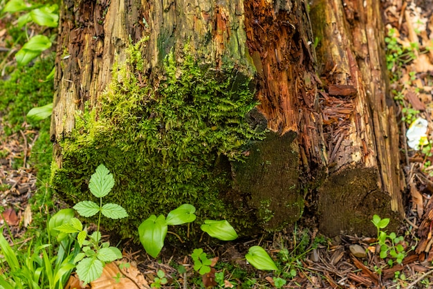 Musgo verde colorido brilhante em um tronco de árvore em uma clareira de madeira