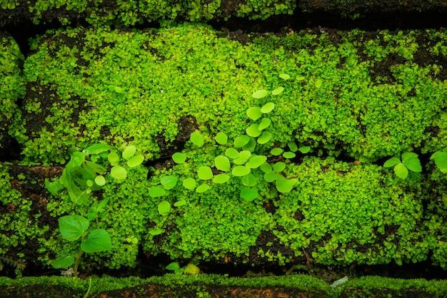 Musgo verde crescendo em tijolos antigos, closeup musgo e samambaia na natureza