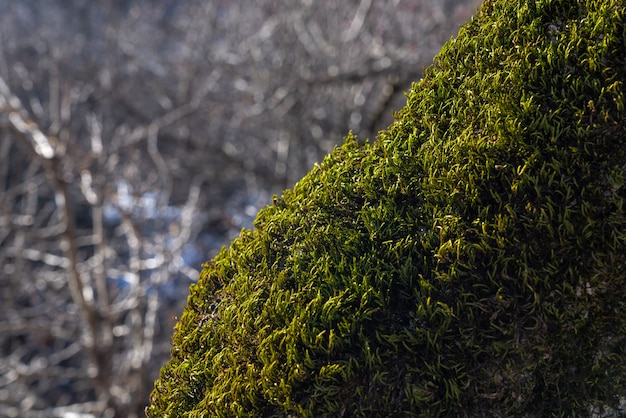 Musgo verde espesso no tronco de uma árvore, foco seletivo