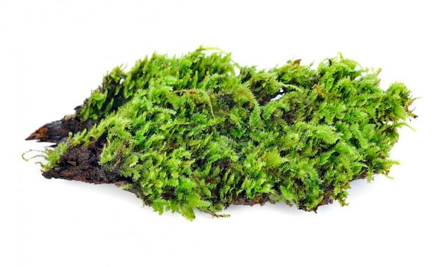 Musgo verde isolado no branco bakground